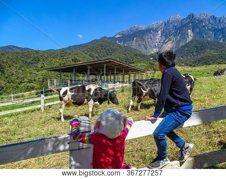 Kundasang,sabah-mac 16,2020:children Watch Cattle Cows On A Farm On The Green Meadows In The In Desa