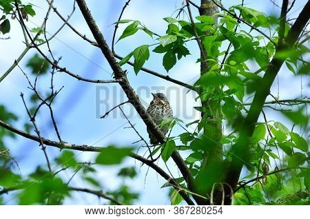 A Chick Is Sitting On A Tree Branch. The Fieldfare (turdus Pilaris) Is A Member Of The Thrush Family