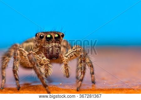 Close Up The Jumping Spider And Blue Background. Jumping Spiders Have Some Of The Best Vision Among