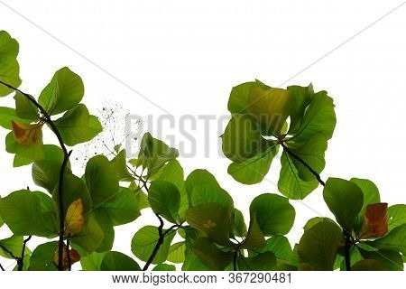 Golden Teak Leaves With Branches On White Isolated Background For Green Foliage Backdrop