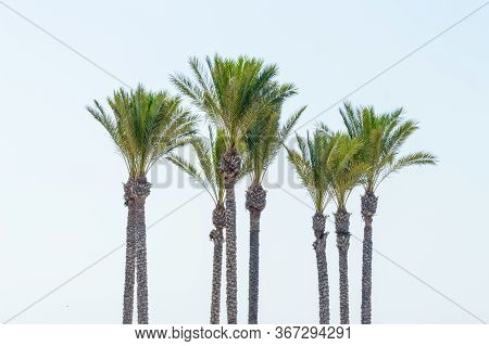 Group Of Cups Of Palm Tree On The Beach Of Roquetas De Mar. August 14, 2019. Roquetas De Mar Almeria