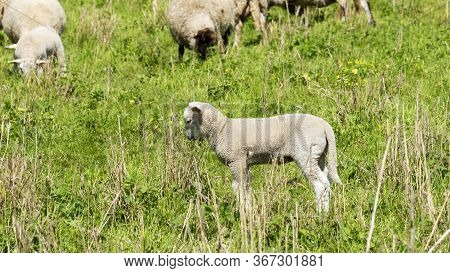 Sheep In A Meadow - National Park On The Elbe
