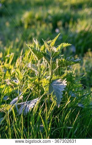 Nettles In The Meadow In Spring Sunset