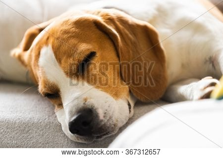 Beagle Dog Tired Sleeps On A Cozy Sofa, Couch, Blanket