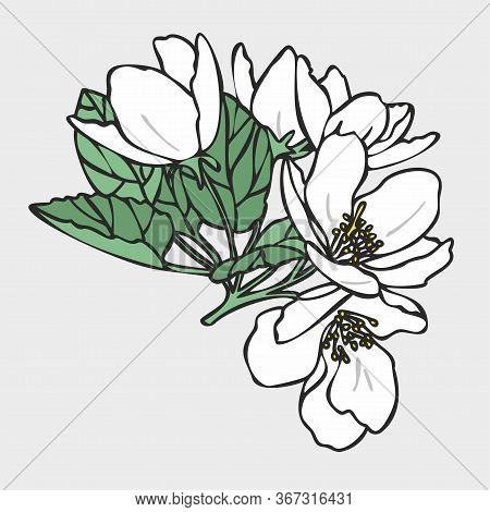 Vector Drawing Of Flowers And Leaves Of Apple Trees, Hand-drawn Illustration. Blooming Apple Tree. B