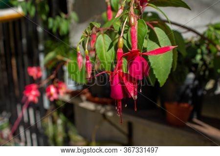 Flower Of The Queen's Earrings, Fuchsia Or Scientific Name Fuchsia Magellanica, Medellin, Antioquia,