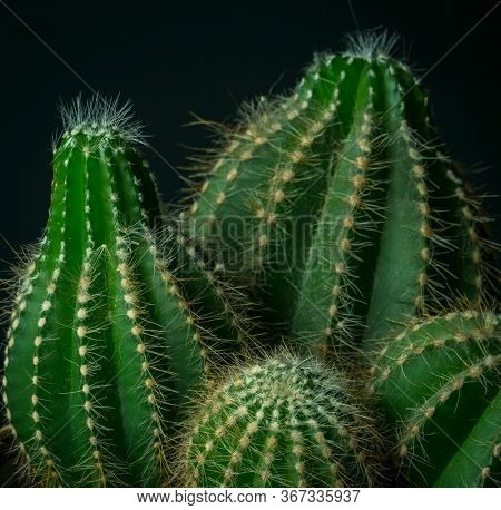 Indoor prickly cactus close-up fragment