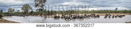 African Buffalo Herd Drinking In Lake In Kruger National Park, South Africa ; Specie Syncerus Caffer