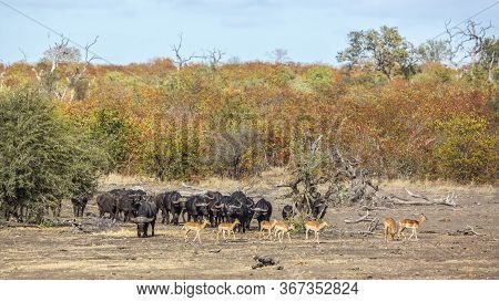 African Buffalo Herd And Impalas In Kruger National Park, South Africa ; Specie Syncerus Caffer Fami