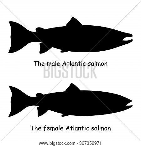 The Black Silhouette Of The Male And Female Atlantic Salmon (salmo Salar) Are Isolated On The White