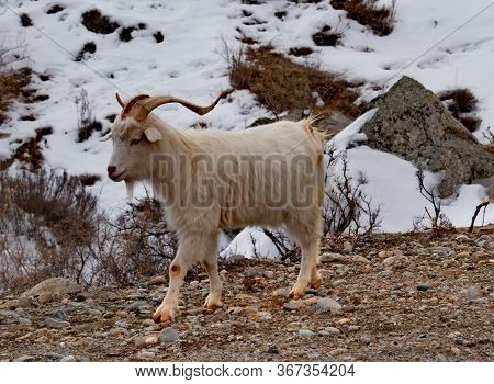 Russia. South Of Western Siberia, Mountain Altai. Altai Breeds Of Domestic Goats Are Characterized B