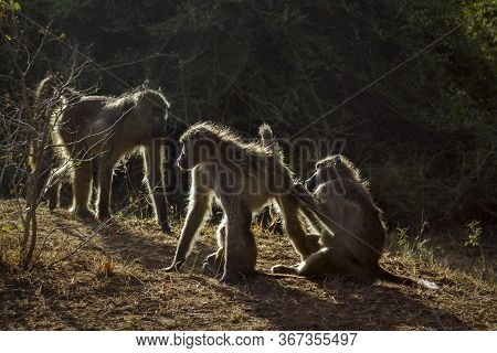 Chacma Baboon Family Portrait In Backlit In Kruger National Park, South Africa ; Specie Papio Ursinu