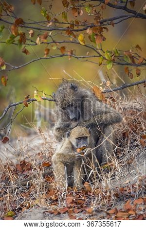 Chacma Baboon Female Delousing Young In Kruger National Park, South Africa ; Specie Papio Ursinus Fa