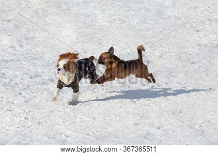 Cute Cavalier King Charles Spaniel Puppy And Petit Brabancon Puppy Are Playing In The Winter Park. P
