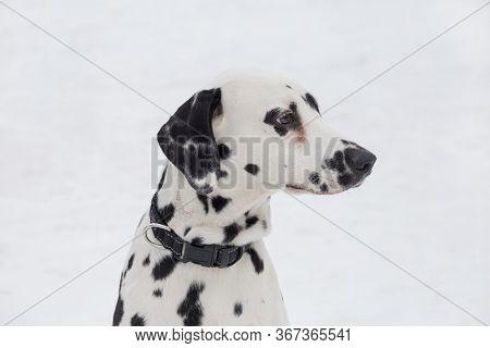 Portrait Of Cute Dalmatian Puppy Close Up. Pet Animals.