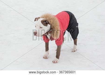 Cute American Pit Bull Terrier Puppy Is Standing On A White Snow In The Winter Park. Pet Animals.