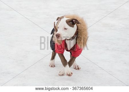 Cute American Pit Bull Terrier Puppy In Beautiful Pet Clothing Is Standing In The Winter Park. Pet A