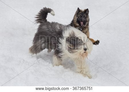 German Shepherd Dog Puppy And Bobtail Sheepdog Is Playing On A White Snow In The Winter Park. Pet An