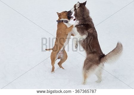 Siberian Husky Puppy And Amstaff Puppy Are Playing In The Winter Park. Pet Animals.