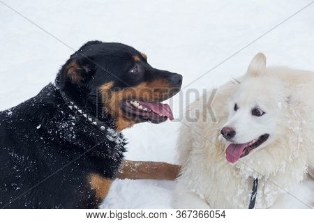 Rottweiler Puppy And Multibred Dog Are Lying On A White Snow In The Winter Park. Pet Animals.