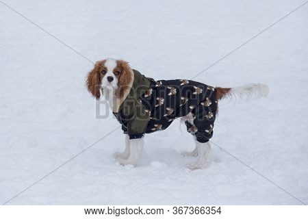 Cute Cavalier King Charles Spaniel Puppy Is Looking At The Camera. Pet Animals.