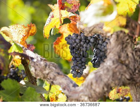 Bunch of blue grapes hanging on vine in vineyard surrounded by colorful leaves in warm light.