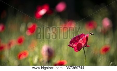 Honey Bee In Flight.picturesque May Contrasts.creating A Mood.in The Garden Blossom Poppies.a Delica