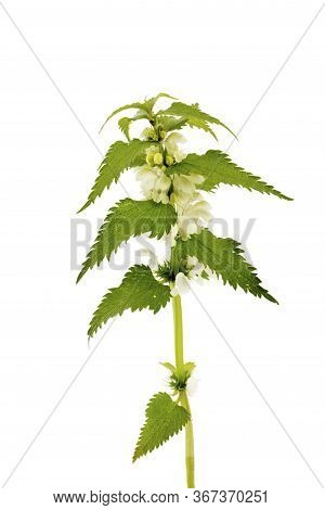 Nettle Isolated On A White Background. Save Work Path. Juicy Nettle Blooms Beautifully. Lamium Album