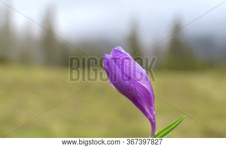 Blooming Alpine Crocus Flower. A Purple Flower On A Blurred Background Of A Forest Landscape In The