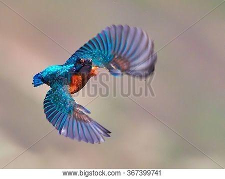 Common Kingfisher (Alcedo atthis) Danube Delta