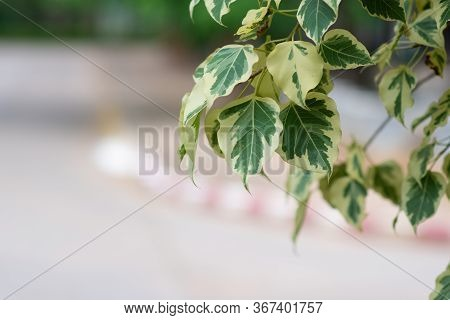 Branch Of Ficus Benjamina With Variegated Leaves. Motley Background Of Green Leaves With White Spots