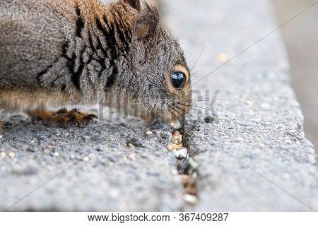 A Closeup Of A Douglas Squirrel's Face.   Vancouver Bc Canada