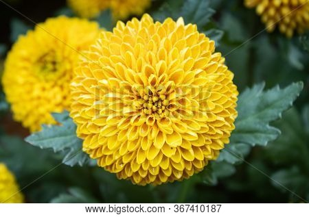 Yellow Dahlia Flower In Garden On Center Frame. Natural Dahlia Flower Or Dahlia Bouquet On Green Lea