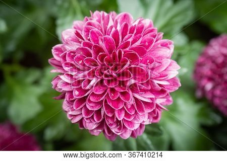 Purple Or Violet Dahlia Flower In Garden On Center Frame. Natural Dahlia Flower Or Dahlia Bouquet On