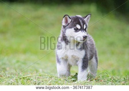 A Cute Siberian Husky Puppy On Grass