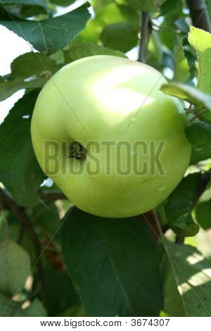 The One Yellow Apple On The Branch.