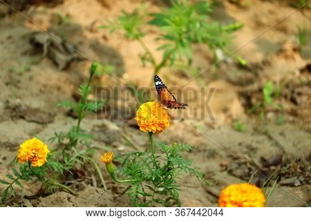 Black And Dark Yellow Wings Of Monarch Butterfly In Home Garden Of Young Green Yellow Marigold Flowe