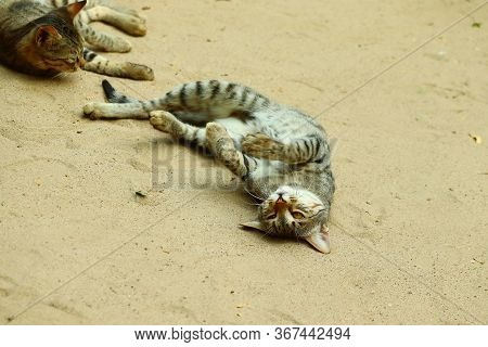 Young Domestic Young Cat Playing With Sister On Ground , This Image Taken In December Winter From In