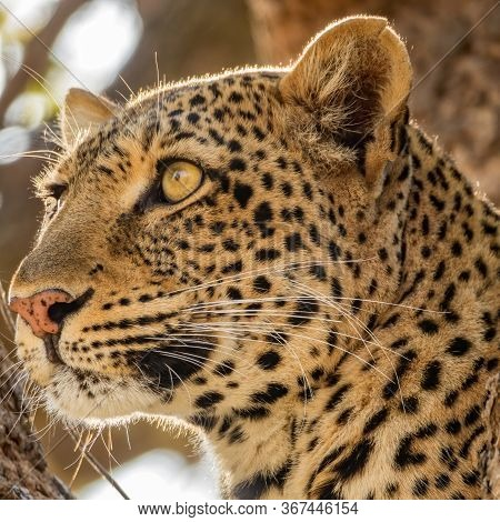 Spectacular Wild Leopard Head Looking To The Infinite