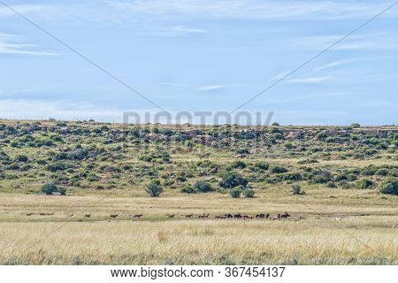Herds Of Black Wildebeest And Red Hartebeest On The Eland Hiking Trail At Eingedi Near Ladybrand. Wh