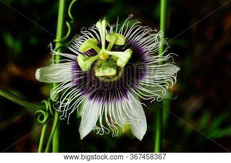 Close-up Of The Flower Of Common Passionfruit (passiflora Edulis),