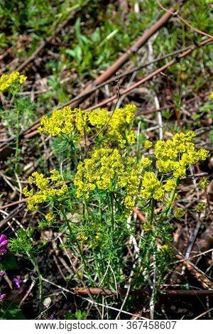 Flower Cypress Spurge (euphorbia Cyparissias) On Meadow. Euphorbia Cyparissias, The Cypress Spurge,