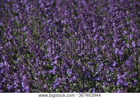 French Purple Lavender In A Border Along The Road In The Village Of Noordwijk In The Netherlands