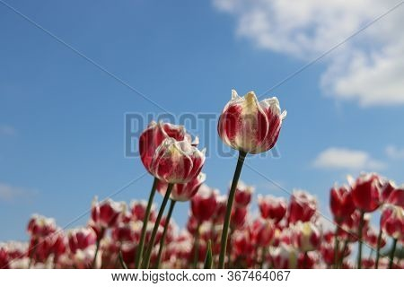 Red With White Tulip Of The Type Toplips Illuminated By The Sun In A Flower Bulb Field In Noordwijke