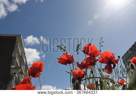 Poppy Flowering Plant In Subfamily Papaveroideae Out Of The Street In Gouda In Bright Sunlight