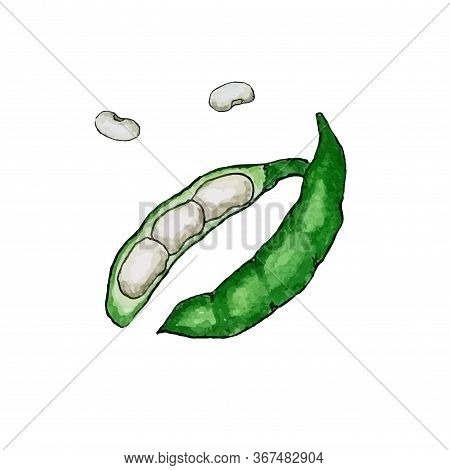 Hand Drawn Watercolor Illustration Of Fresh Green Bean In The Husk. Isolated On The White Background