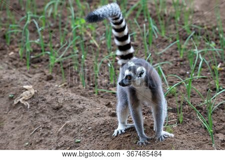 A Ring-tailed Lemur Hops Around In The Fields Of The Locals