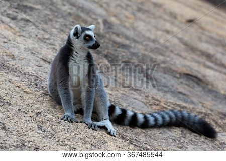 A Funny Ring-tailed Lemurs In Their Natural Environment
