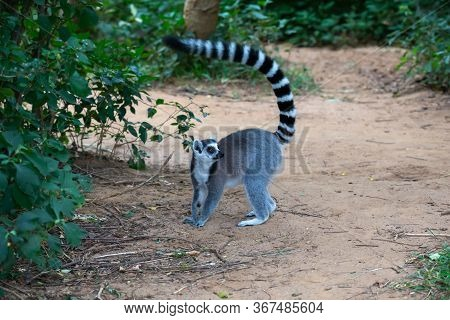 A Ring-tailed Lemur In Its Natural Environment