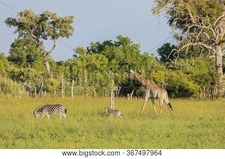 A Mother Zebra With Foal Is Followed By A Giraffe In The Okavango Delta In Botswana.